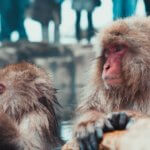 Snow Monkeys Japanese Macaques Jigokudani Yaen Koen Nagano Alps Japan