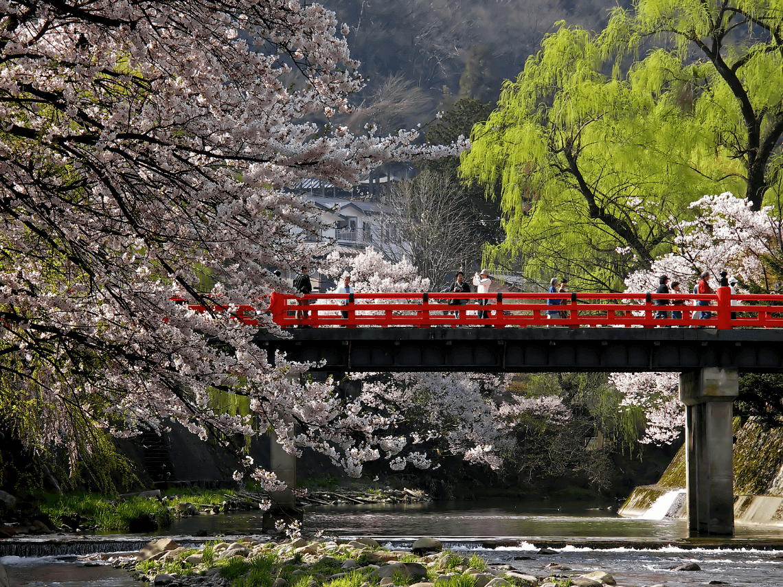 Cherry blossoms in spring at Nakabashi Bridge, Takayama, Japan