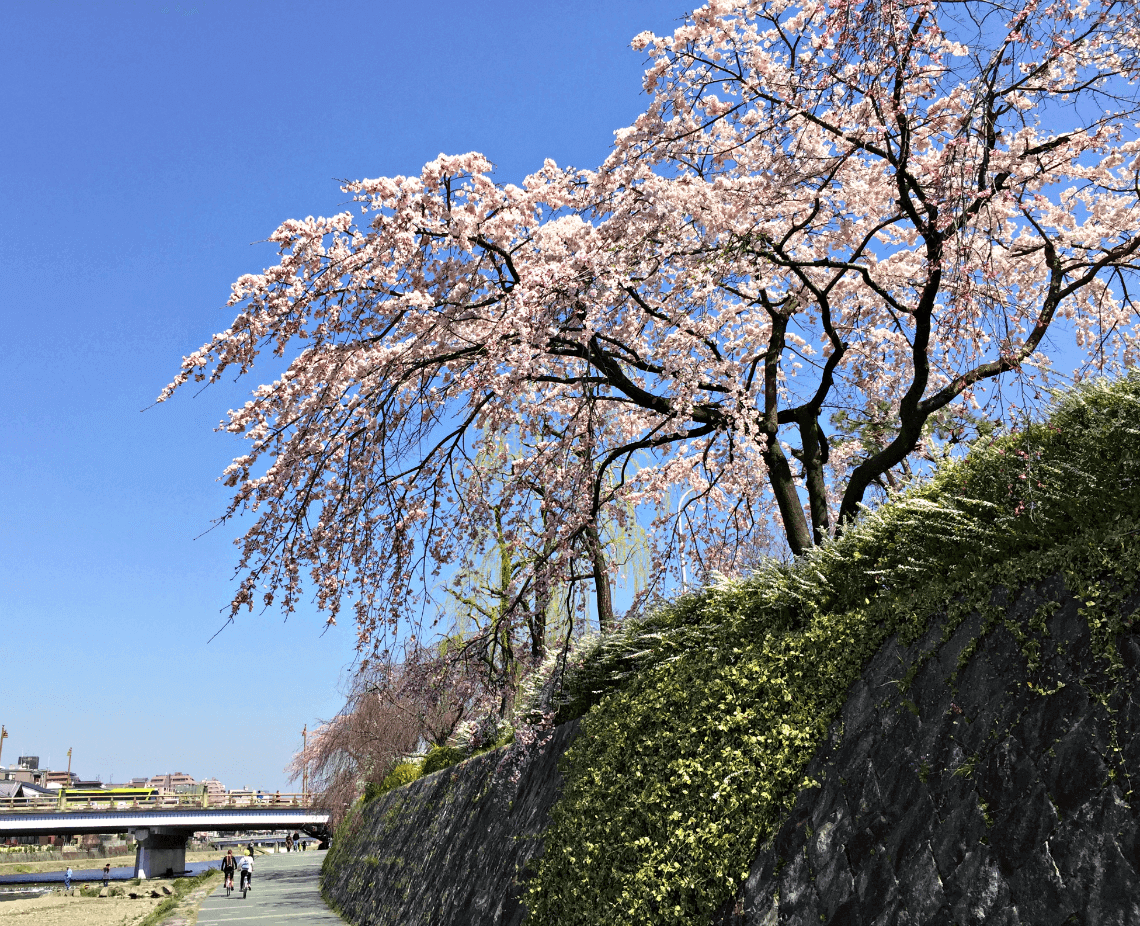 Cherry blossoms in spring line the Kamogawa river in Kyoto, Japan