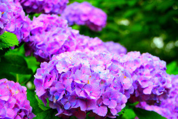 ajisai hydrangeas in japan